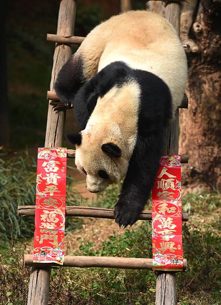 大熊猫沐浴阳光快乐迎春