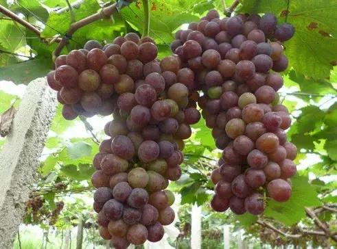你见过长在树上的葡萄吗?