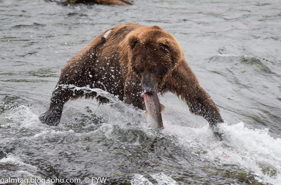 自然奇观 阿拉斯加棕熊抓鱼