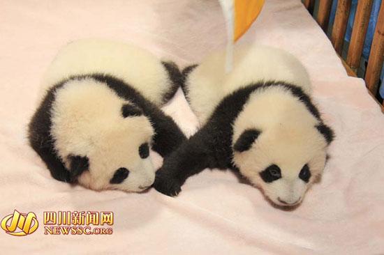 萌萌哒!2015全球首对大熊猫双胞胎满百日