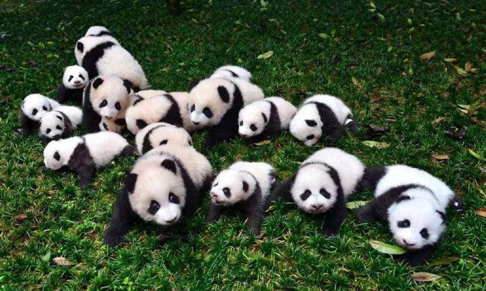 新生大熊猫宝宝 萌萌哒
