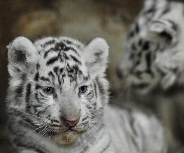 野生白虎已经灭绝,现存白虎均为人工繁殖