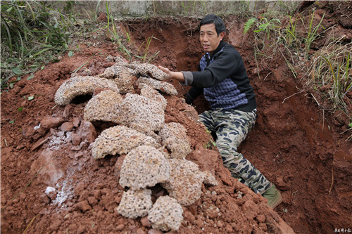 四川内江市东兴区郭北镇红星水库堤坝挖出的巢穴.