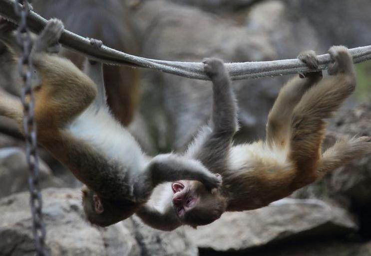 生活在南京红山森林动物园内的猴子们抱在一起抵御