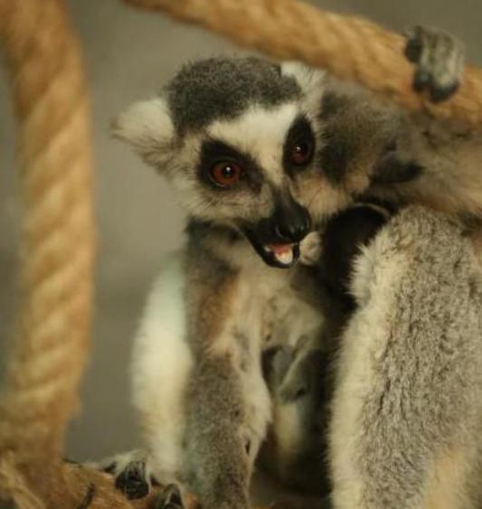 重庆环尾狐猴产下双胞胎