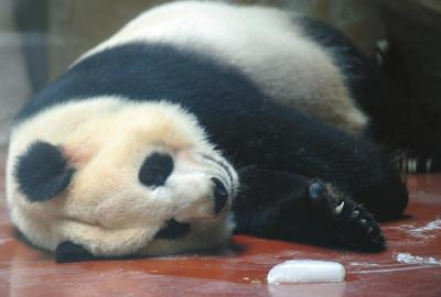 成都动物园大熊猫伴着冰块睡觉.(图据华西都市报)