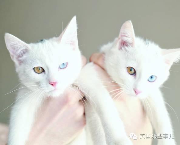 全世界最美的双胞胎猫