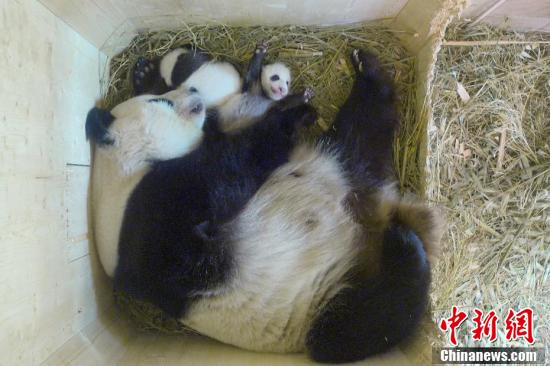 奥地利动物园诞生熊猫双胞胎