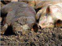 湖南商贩给生猪灌食泥浆 一头猪可增重20斤
