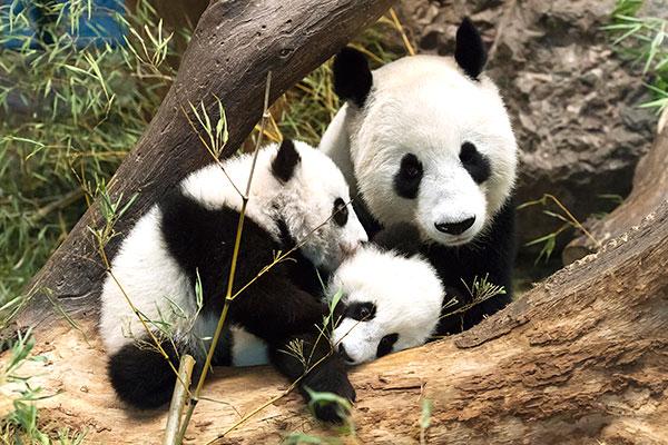 旅居奥地利美泉宫动物园大熊猫双胞胎亮相,卖萌迎新年