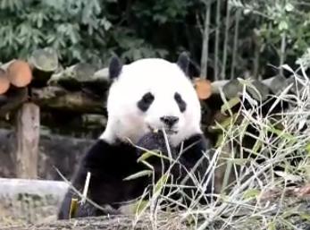 """回家5天 旅美熊猫""""宝宝""""状况良好"""