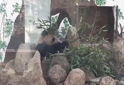 """大熊猫""""蜀兰""""今晚抵达成都 将由都江堰基地代养"""