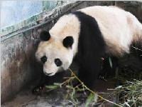 """大熊猫""""蜀兰""""踏上归家路 兰州市民前来相送"""