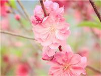 简阳第六届桃花节开幕 自驾线路图都给你准备好啦