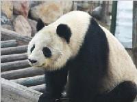 """大熊猫""""蜀兰"""" 回娘家了!等待它的还有新任务"""