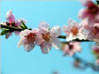 """明日""""春分""""川内多阴雨天气 成都或现暖阳"""