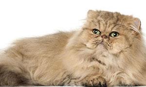 波斯猫选购指南及饲养方式