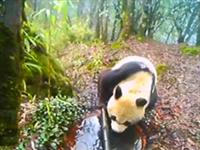"""龙池保护站红外线相机拍到野生大熊猫""""圈地"""""""
