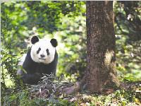 它们都诞生在成都!成都野生大熊猫数量增加
