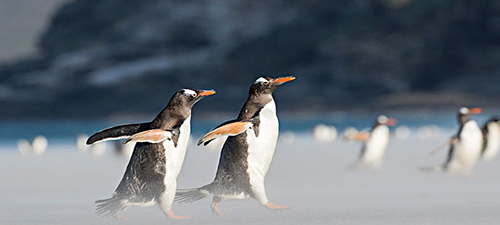 速度之王 巴布亚企鹅