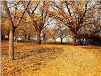 待到满树黄金叶,一起到电子科大看银杏雨落可好?