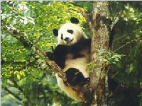 全国人大代表侯蓉:报告总书记 野生大熊猫增加268只