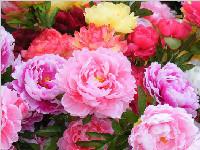 注意!2018彭州丹景山牡丹花节赏花路线来了