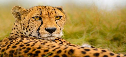 但是这猎豹不是一出生就能跑这么快,要想达到这么快的奔跑速度,小猎豹