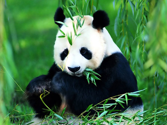 萌萌哒!都江堰龙池拍到野生大熊猫