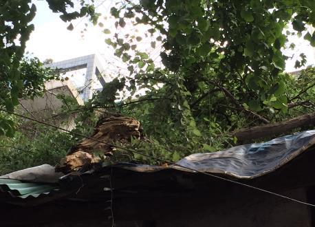 成都古树名木砸穿市民房屋 谁来维修却成问题