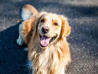 11月16日起 成都将对限养区禁养犬只开展收容处置