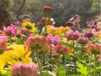 花香氤氲古少城 这场菊花盛宴让你大开眼界