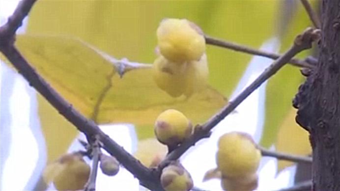 赏梅去哪里? 快来锦江区赏梅品美食 共度梅花节