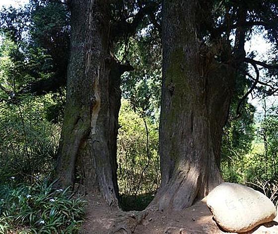 四川古树名木家底摸清 百岁以上古树超七万株