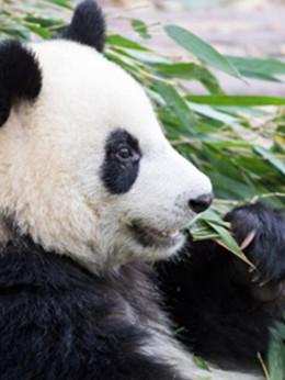 """虽然长得不qiang 但每个""""幸运分分彩人""""真的都是熊猫!"""