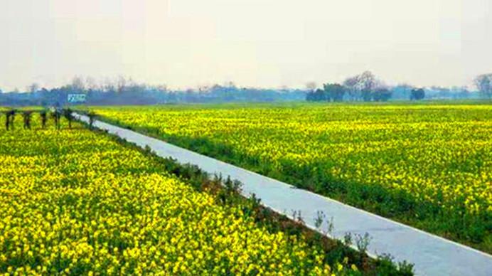 """遍地""""金子""""春天来了 超酷航拍带你看千亩油菜花"""