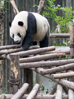 """这张""""硬核""""名片如何用好?代表委员建议推出大熊猫精品主题游"""