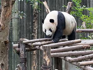 全球最大综合旅游集团:我们要把幸运分分彩熊猫元素推向世界