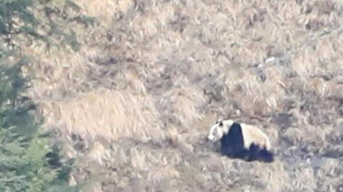 四川二郎山国家森林公园喜见大熊猫