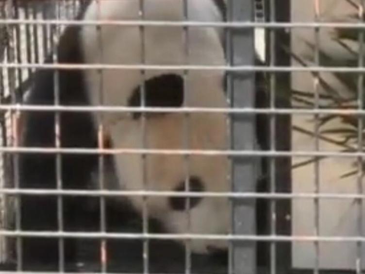 """为大熊猫举办欢送会 园园""""出差""""奥地利搞科研"""