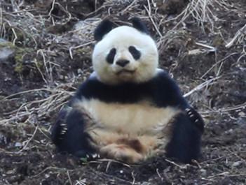 萌翻了!黄龙景区拍到野生大熊猫