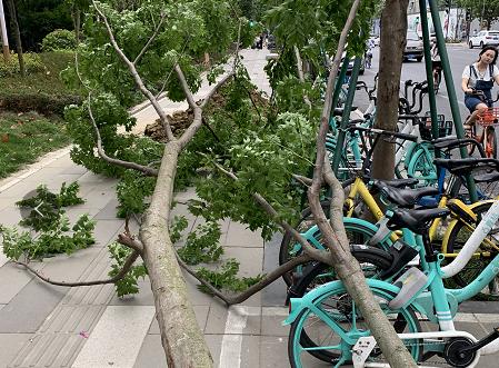 今日大风 部分浅坑新树倾倒 大家要注意安全呀