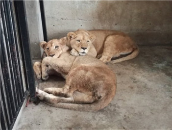 """狮""""奔""""入川 10只非洲狮从南非""""迁居""""隆昌"""