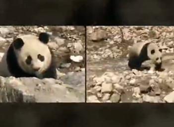 从九寨沟救回来的那只大熊猫 回家了!