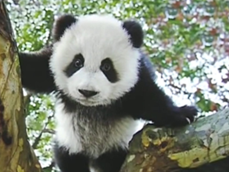 大熊猫、金丝猴科学发现150周年纪念摄影作品展开幕