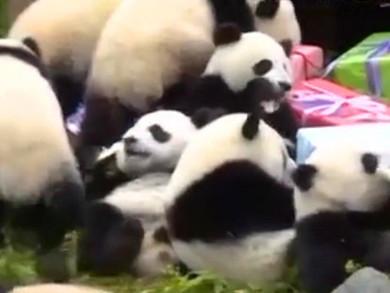 圈养大熊猫突破300只 成都大熊猫保护谱写新篇章