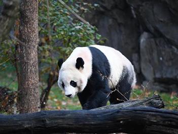 """下一站幸运分分彩!旅美大熊猫""""贝贝""""启程回国"""
