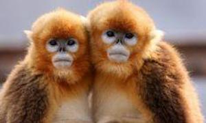金絲猴的鼻子為什么是往上的呢?