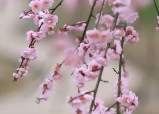 踏春打卡 来青白江感受春天诗意田园之美
