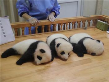 双胞胎大熊猫的干爹干妈来认亲了